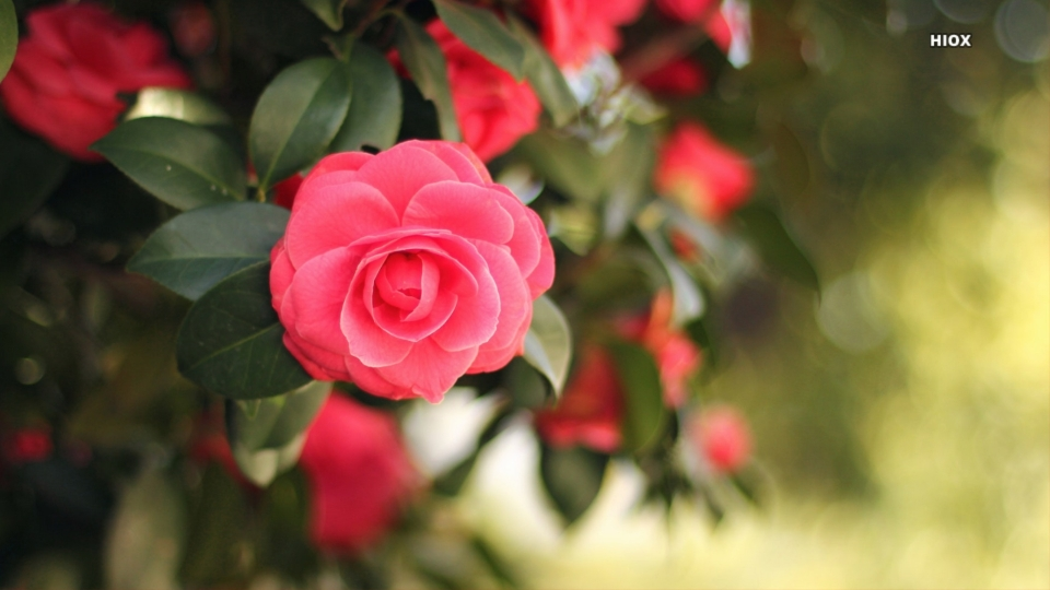 Beautiful Focus Photography Of Rose Flower Hd Image