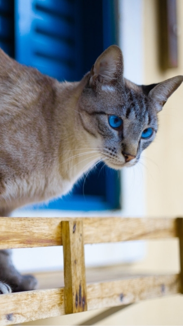 Blue Eyed Cat Near Blue Window Hd Photo