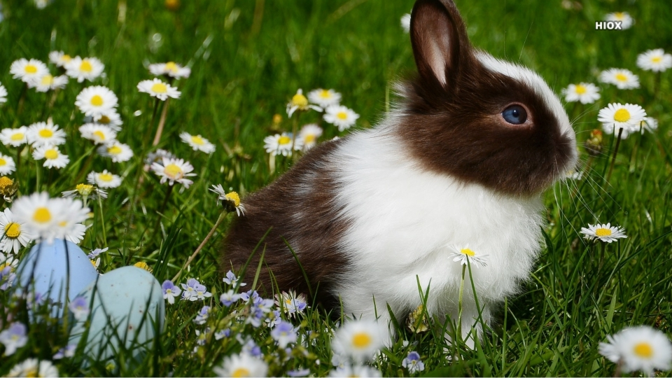 Little Bunny HD Images