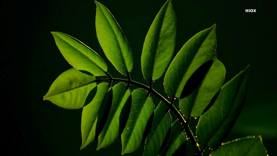 Green Leaves HD Images