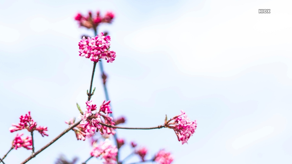Hd Bokeh Wallpaper Of Pink Flowers