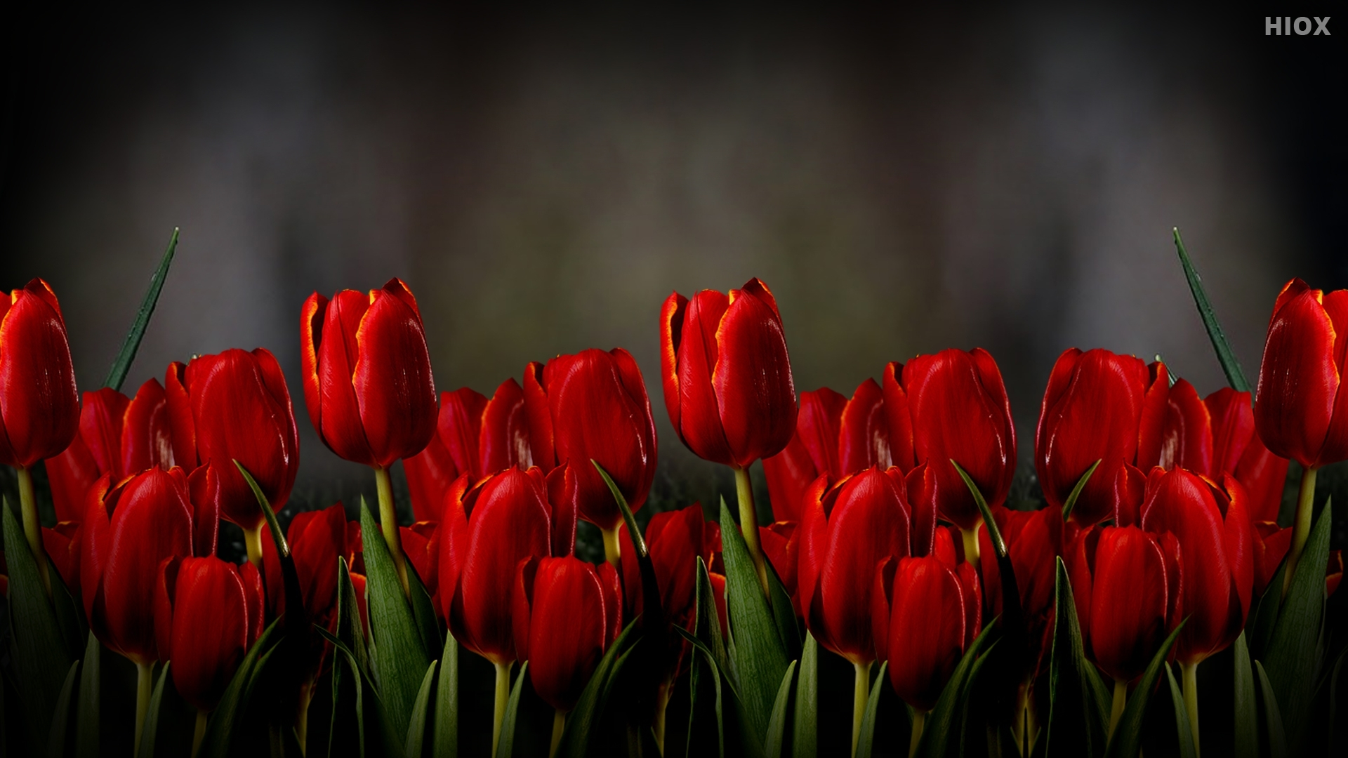 HD Image Of A Red Tulip Flower On A Dark Background