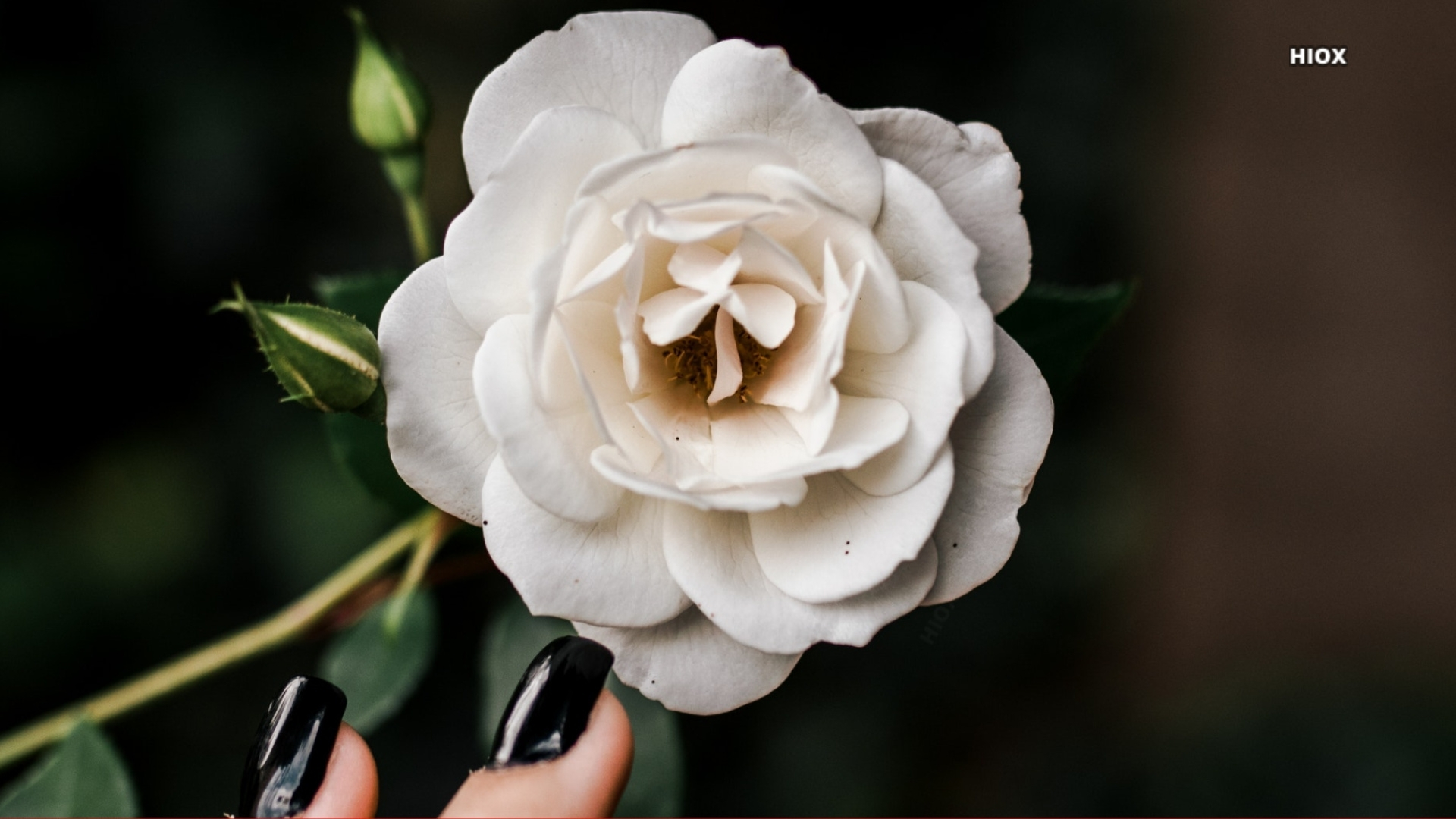 White Rose On Dark Background Hd Image