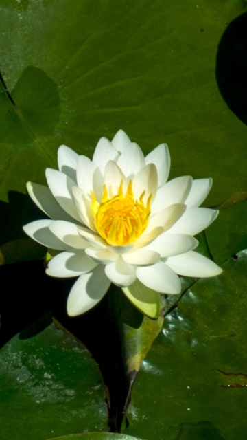 High Resolution White Lotus Flower Picture
