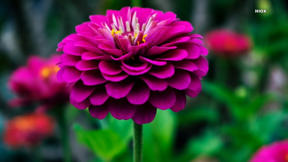 Pink Flower Hd Photography
