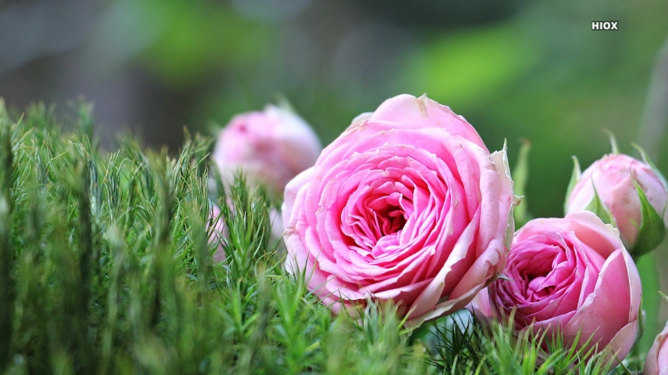 Pink Roses On Grass Hd Wallpaper