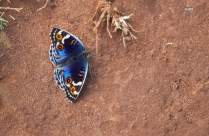 Blue Shaded Butterfly Perched On Brown Soil