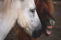 Brown And White Horse Funny Hd Photo