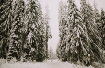Snow Covered Pine Trees Hd Image