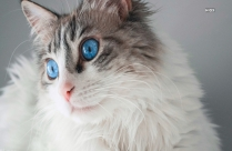 Photo Of Long Fur Cat With Blue Eyes