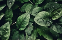 Rain Drops On Green Leaves Hd Background Image