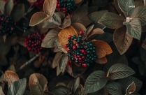 Red And Black Berries On Plant Hd Image