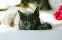 Photo Of Russian Gray Cat Lying In Bed
