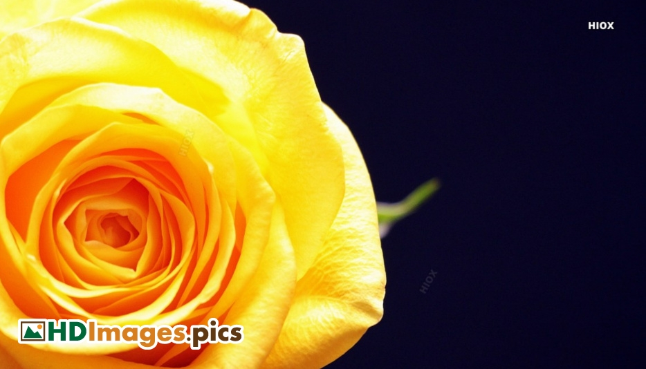 Yellow Rose Images Hd Image